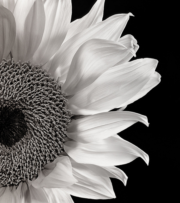 photoblog image Sunflower Study in Black and White